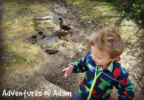 Adventures of Adam feeding the ducklings