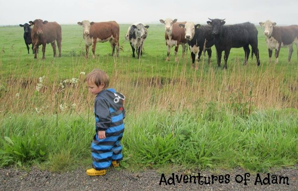 Adventures of Adam chasing cows
