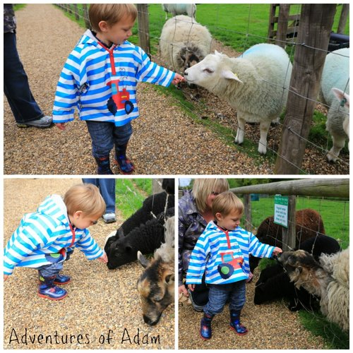 Adventures of Adam feeding the sheep at Wroxham Barns