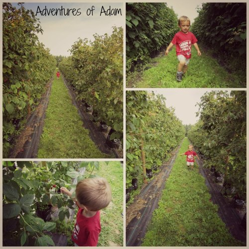 Adventures of Adam raspberry picking