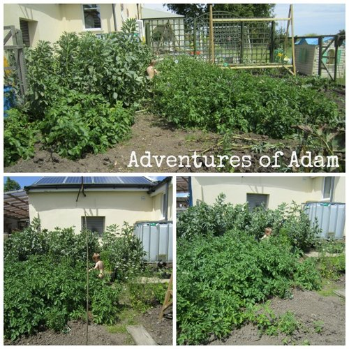Adventures of Adam toddler vegetable patch