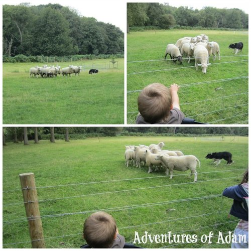 Adventures of Adam sheep dog