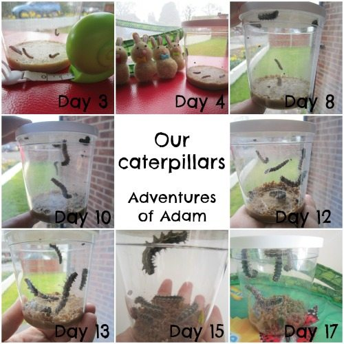 Adventures of Adam Caterpillar life cycle from Insect Lore