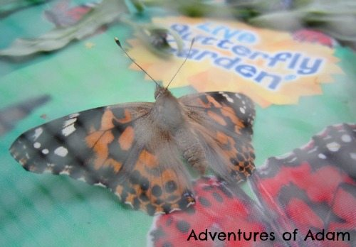 Adventures of Adam Painted Lady Butterfly