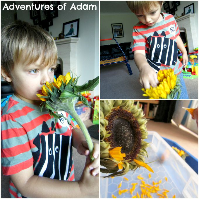 Adventures of Adam Exploring sunflowers