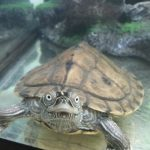 Tony the Musk Turtle