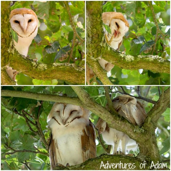 Barn Owls in Nanas Garden