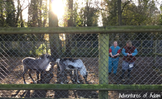 Feeding the reindeer at Drayton Manor